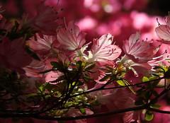 Exbury Gardens 1 (samm.doyle) Tags: sunshine azalea shrub petal pink exbury gardens hampshire