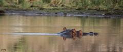 Hipopótamo (JaviJ.com) Tags: park water animal fauna africa national safari south agua hippo kruger sudafrica hippopotamus hipopotamo javij