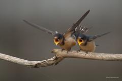 Me me me (Earl Reinink) Tags: bird animal nature earlreinink nikon swallow barnswallow babies bigmouth