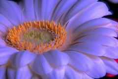 [NX500] Blue illuminated Gerbera [explored] (Michael Schönborn) Tags: nx500 nx50200f456 macro closeup samsung flower gerbera illumination white blue stacked focusstacking detailed