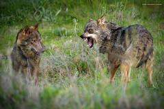 Pelea (Lagier01) Tags: fauna lobo mamiferos mundopark nature animales iberico