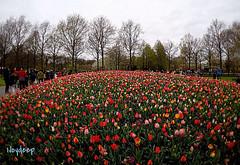 Keukenhof,The Netherlands (iJoydeep) Tags: tulip keukenhof 2017 goprohero5black gopro holland dutch amsterdam