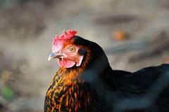 Chicken (katjacarmel) Tags: chicken kip animal dier farm boerderij outside portrait closeup spring bird vogel macro red orange