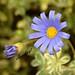 """There is beauty in simplicity."" (Arlete M) Tags: feliciaamelloides bluedaisy margaridaazul camposdojordãosp amantikirgarden inexplore"
