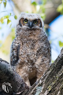 Great Horned Owls of New Jersey | 2017 - 20