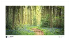 West Woods (tobchasinglight) Tags: bluebells englishwoodland marlborough springtime westwoods wiltshire woodland ©paulmitchell
