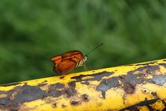 Borboleta bairro São João JM - Wir Caetano - 26 04 2017 (8) (dabliê texto imagem - Comunicação Visual e Jorn) Tags: borboleta inseto amarelo escada ferrugem