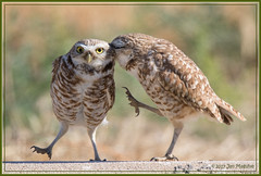 The Side-Step 2440 (maguire33@verizon.net) Tags: ontario bird burrowingowl owl wildlife nesting pair nestingpair