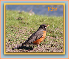 Pretty, Robin Red Breast (bigbrowneyez) Tags: park parco canada bird primavera nature robin sunshine spring wings quebec sweet ottawa feathers adorable sunny canadian frame colourful lovely bello robinredbreast bellissimo ucello andewhaydonpark prettyrobinredbreast