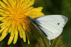 Green-veined White (former-extog) Tags: butterfly butterflies wfc bridgend greenveinedwhite aberkenfig pierisnapi tondu 2013 penybontarogwr unature welshflickrcymru bbcwalesnature parcslip bymikemccarthy canonef100mmf28lmacroisusm ©mikemccarthy