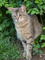 one-eyed feral cat in Morningside Park emerges from the bushes (hshuldman) Tags: new york nyc morning wild urban west eye abandoned nature amsterdam animal cat canon photography rebel drive eyes kitten feline bokeh harlem manhattan side broadway parks harry kitty upper domestic telephoto purr stray meow greater 75300mm dslr morningside catseye uws feralcat feral felis hiss t3i catseyes telefoto nycparks carnivora felidae nycpark caturday shuldman hshuldman harryshuldman