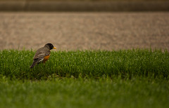 A Robin Hopping through Grass (Victor Ierulli) Tags: bird wet robin grass wildlife sidewalk