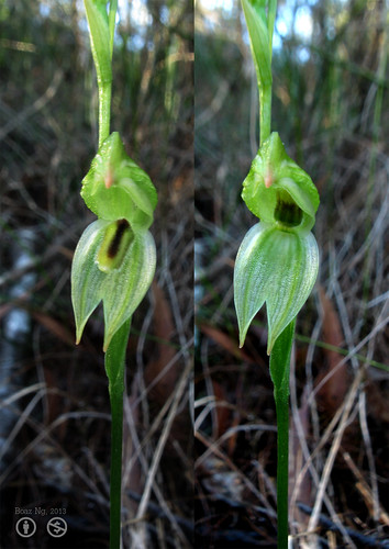 Comparison of Pterostylis longifolia