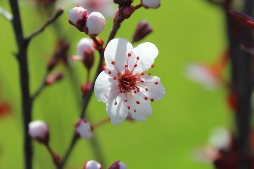 Purple Leaf Sand Cherry Flower