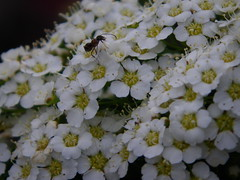 IMGP8512 Surveying the flowery landscape (shutterbroke) Tags: flowers pentax ant optio viburnum ws80 shutterbroke