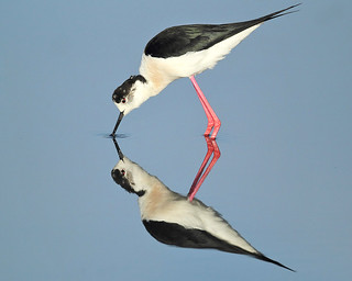 Black-winged Stilt feeding on calm lake DV8B3499