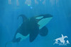 (Megakillerwhales) Tags: dolphin dolphins whale whales orca beluga seaworld shamu belugas orkid killerwhale orcas killerwhales nakai seaworldsandiego keet babyk shouka kassy kalia orcawhales cetaceans cetacean ulises ikaika shamushow orcawhale corky2 seaworldcalifornia orcashow kasatka shamurocks nalanidreamer megakillerwhales kasatkasnewcalf
