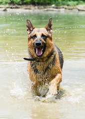 Branko Swims 2013-06-07-13 (falon_167) Tags: dog shepherd german gsd germanshepherddog branko
