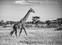 Serengeti Giraffe (iPlaid34 (sooooo busy - catching up soon!)) Tags: africa trees field grass logo tanzania tall giraffe serengeti acacia darkcontinent