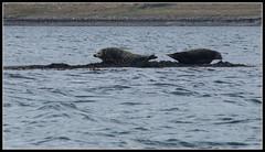 Two seals (Donald Noble) Tags: sea seaweed skye beach water animal fauna landscape mammal scotland boat marine wildlife canoe seal algae ord seashore sleat