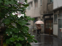 hydrangea in the rain (anchor recess) Tags: plant flower  osaka hydrangea