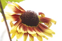 the beauty of a flower ... (mapleda) Tags: red summer flower yellow landscape daylight flora bright sunflower bloom tall flowerbeds