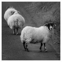 the very coolest (bruxellius) Tags: portrait cool sheep isleofmull