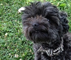(Dark YorkiPoos) Tags: black cute yorkie dark mix small adorable fluffy poodle shaggy kia hybrid yorki scruffy crossbreed yorkiepoo hypoallergenic mixbreed yorkipoo terripoo
