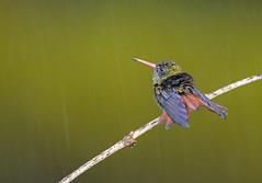 Amazilia Colirrufo, Rufous-tailed Hummingbird (Amazilia tzacatl) 81 (jjarango) Tags: birding aves pajaros birdwatching colibr avesdecolombia birdingcolombia avesdecolombiaavescolombiabirdingbirdwatchingpjaros