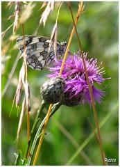 Papillon butineur (patrice3879) Tags: papillon insecte campanule bls hautejarrie monchaboud