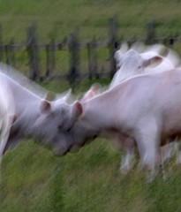 fight on the field (Ingrid Friis Photo) Tags: summer sun evening cow skne blurry flickr sweden tags sverige greengrass alnarp skane strandngarna