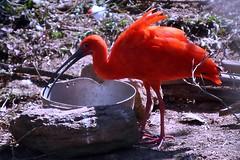 Guar Vermelho (Wilson Severino) Tags: red nature zooparqueitatiba guarvermelho avesaquaticas