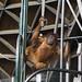 orangutan - toronto zoo - 15