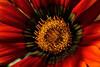 428 - Gazania (ArvinderSP) Tags: red flower macro nature yellow closeup petals details explore gazania pollens arvinder tamronaf70300mmf456dild nikond3100 arvindersp