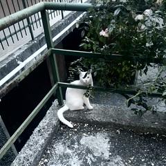 White cat (Clerss Malisha) Tags: cats cute animal animals cat meow gatto gatti domestico animali animale micio tenero retromatic