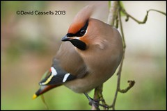 Waxwing-Close-Up (David E Cassells) Tags: