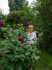 My great old sort dahlia (EilaK: Visit my nice galleries too!) Tags: dahlia summer garden kes reddahlia puutarha