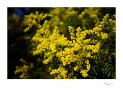 Wattle (heritagefutures) Tags: leica ltm test plant gardens lens 50mm nikon dof australian australia historic national f adapter vegetation botanic canberra konica shallow dslr act wattle d800 hexar f35 enlarging 39mm konishiroku