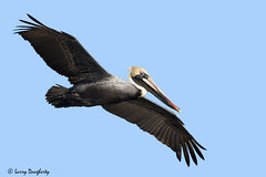 A Pelican flyby...........D800 (Larry Daugherty) Tags: bird nature fly wings nikon louisiana feathers aves 100v10f pelican brownpelican animalia d800 metairie pelecanidae pelecaniformes pelecanusoccidentalis chordata indianbeach louisianabrownpelican nikond800 nikon300mmf4lens bonnabelboatlaunch mygearandme mygearandmepremium newbonnabelplace