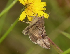 Silver Y Moth (Andy Moshy Taylor) Tags: nature nikon wildlife insects gateshead moths silvery northeast tyneandwear watergateforestpark d3100