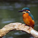 "Kingfisher • <a style=""font-size:0.8em;"" href=""http://www.flickr.com/photos/81250586@N03/9604107264/"" target=""_blank"">View on Flickr</a>"
