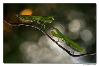 Mantis Religiosa - Mante Religieuse #9