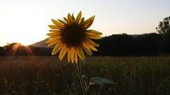 suns (ΞSSΞ®®Ξ) Tags: flowers sunset italy backlight countryside pentax explore lazio k5 ξssξ®®ξ