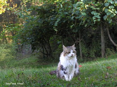 Boss Wishing You a Nice Evening! (Xena*best friend*) Tags: wood boss wild italy pet cats pets cute animals fur photography chats furry woods feline flickr shots tiger kitty kittens whiskers piemonte gato calico purr meow paws kiwi miao gatto katzen pussycat markings miau feral wildanimals allrightsreserved alleycatallies piedmontitaly kiwitree canonef70300mm canoneos500d eosrebelt1i