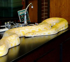 Lab snake. (EcoSnake) Tags: james education laboratory teaching snakes reptiles albinoburmesepython pythonmolurusbivittatus
