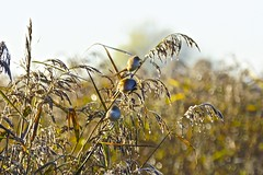 Bearded Tit or Reedling (Rovers number 9) Tags: november england bird frost lancashire rspb leightonmoss beardedtit beardedreedling 2013 rspbleightonmoss sonyaf70300mmf4556gssm nov2013