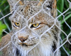 The Look of Hunger (Kuby!) Tags: park mountain dinner zoo nikon colorado time springs co mtn lynx cheyenne kuby aza zoological kubitschek cmz accreditted cmzoo canaadian