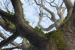 Tree from below I (kevko76) Tags: fern tree oregon portland nikon nw bare branches under bark below d600
