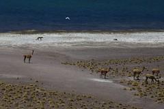 Vicuña, Culpeo (Andean Fox) and a Gull (robnunn) Tags: chile southamerica animals places atacama mammals volcanos culpeo andeanfox vicuña smcpentaxda18135mmf3556edalifdcwr volcanmiñiques lagunamiñiques