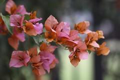 (withUibelong) Tags: ca pink flores flower leaf bougainvillea bugambilias veraneras withuibelong